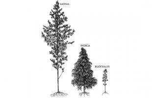 Sativa, Indica ou Ruderalis