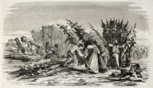 Cueillette du Chanvre en bord de Rhin - 1860