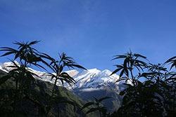 Cannabis en montagne