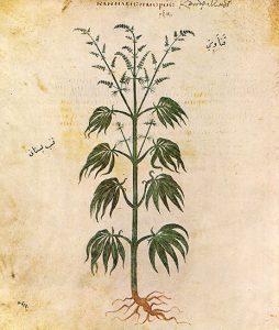 """Cannabis sativa Dioscoride de Vienne 6es """"Cannabis sativadior"""""""