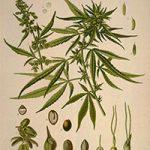 Planche Botanique Cannabis