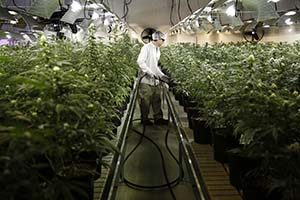 Usine cannabis
