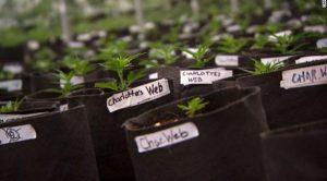 Variété de cannabis Charlotte's Web