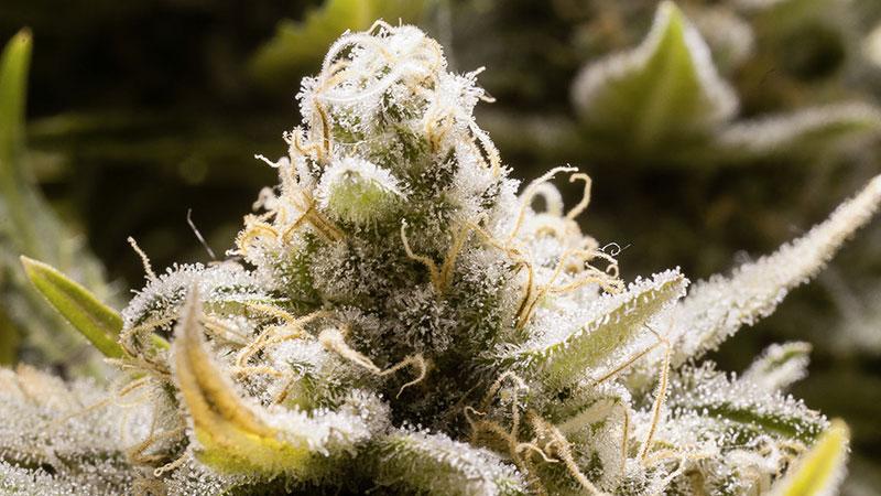 Le «Craft Cannabis», c'est quoi ?