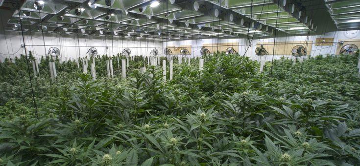 Autoproduction du cannabis pour les malades : Il le faut, mais pour combien de temps ?