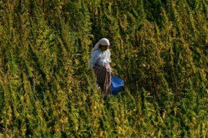 NORML France Maroc Cannabis