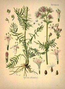 Planche Botanique Valeriane