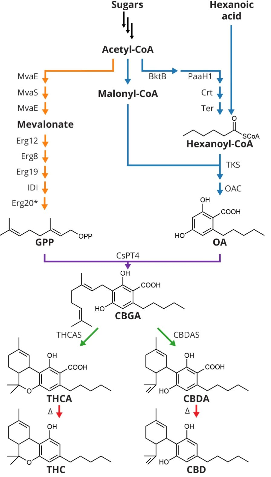 Figure 1. Voie biochimique recréée par Luo et al. (2019) au sein de souches de S. cerevisiae. (Jay Keasling lab, UC Berkeley)